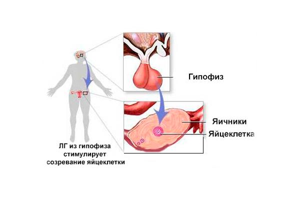Роль лютеинизирующего гормона в стимуляции созревании яйцеклетки