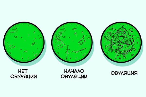 Схема определения овуляции с помощью теста-микроскопа